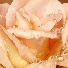 Декоративное панно VIP Чайная роза 268х196 (8 листов)