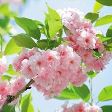 Фотообои Яблони в цвету DECOCODE 41-0226-FG (400х280см)
