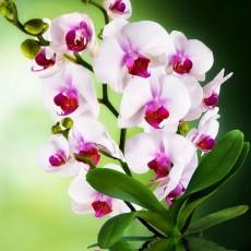 Декоративное панно VIP Орхидея 294х134 (6л)