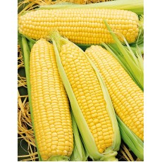 Кукуруза сахарная Золотой батам (А) (ЦВ) 10 г